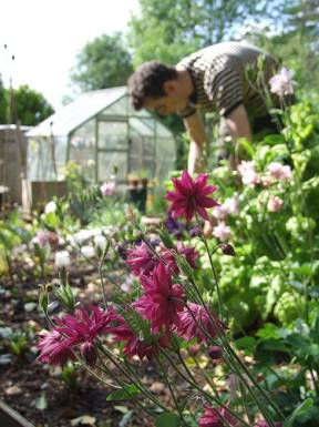Aquilegia for our first seed collection