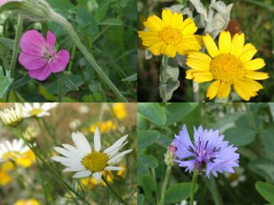 Annual wildflowers currently growing on the site