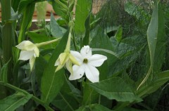 Tobacco Plant, Flowering