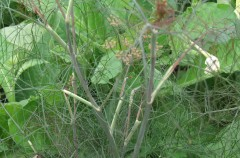 Bronze Fennel grown by Nina