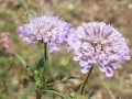 Scabious grown by Sharon S