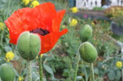 Poppies grown by Nina