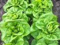 Lettuce 'All Year Round' planted by group