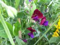 Sweet Peas (mixed)