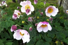 Japanese Anemone donated by Nina